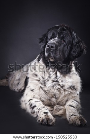 Newfoundland dog black and white portrait in studio