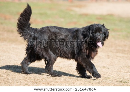 Newfoundland dog breed in an outdoor - stock photo