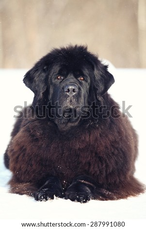 Newfoundland dog lying and looking at the camera in winter - stock photo