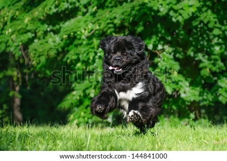 Newfoundland dog on a summer outing - stock photo