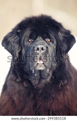 Newfoundland dog portrait in winter - stock photo
