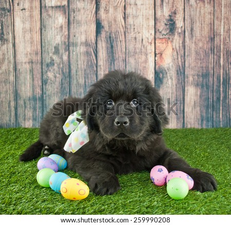 Newfoundland puppy laying in the grass with Easter eggs around him with copy space. - stock photo