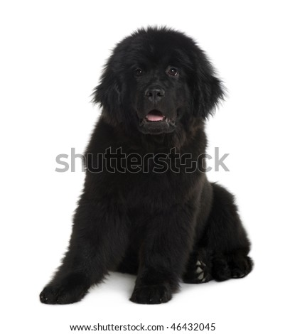 Newfoundland puppy, 4 Months old, sitting in front of white background - stock photo