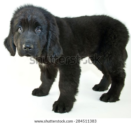 Newfoundland puppy the looks sad or is giving her best puppy eyes to get something, on a white background.