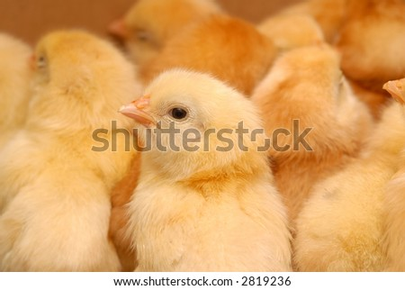 newly born chicken