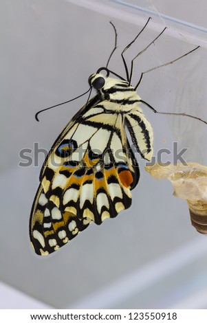 Newly born (complete metamorphosis) lime butterfly clinging beside its pupa carcass (remain of pupa skin) - stock photo