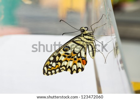 Newly born (complete metamorphosis) lime butterfly clinging on transparent plastic box - stock photo