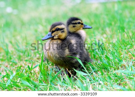 newly born duckling on grass