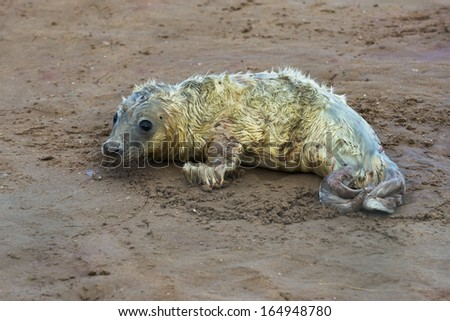 Newly born grey seal pup (Halichoerus grypus) on the beach in Donna Nook, UK - stock photo