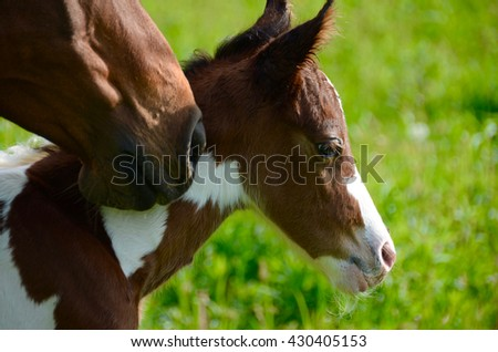 Newly born pinto colt with his mother