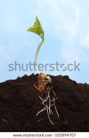 Newly germinated runner bean seedling in soil showing root structure against a blue sky