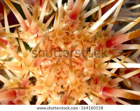Newly gowing needles on the crown of a hedgehog cactus - stock photo