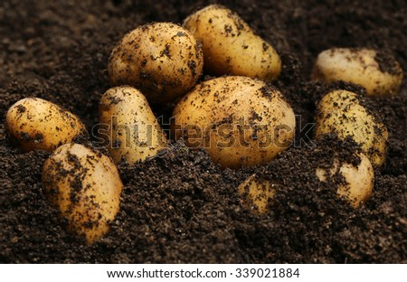 Newly harvested potatoes in ground - stock photo