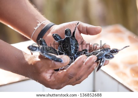 Newly hatched babies turtle in humans hands at Sea Turtles Conservation Research Project in Bentota, Sri Lanka - stock photo