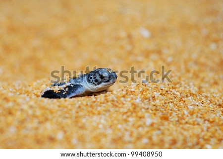 Newly hatched baby turtle came out from sand - stock photo