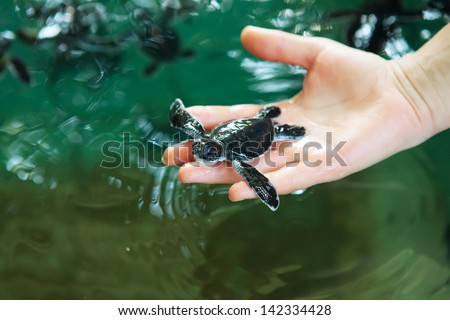 Newly hatched baby turtle in humans hands at Sea Turtles Conservation Research Project in Bentota, Sri Lanka - stock photo