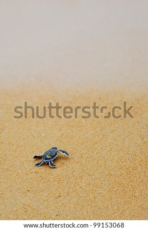 Newly hatched baby turtle toward the ocean - stock photo