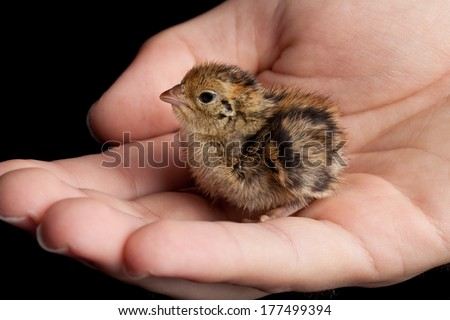 Newly hatched brown and yellow baby quail being held in a hand - stock photo