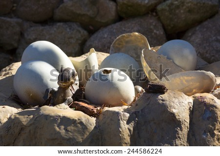 Newly hatched dinosaur eggs - stock photo