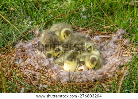 Newly hatched gosling chicks still in the nest - stock photo