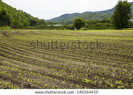 Newly planted corn in farm field in New Hampshire - stock photo