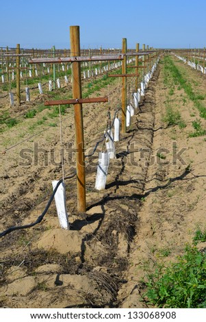 Newly planted vineyard in the spring season shows posts, trellises and drip irrigation system in California's Central Valley - stock photo
