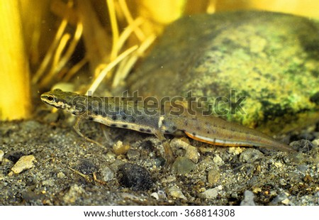 newt common dotted triturus vulgaris regional park coffers expansion bucket Modena Emilia Romagna - stock photo