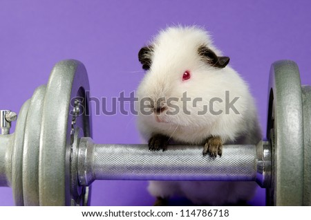 next gen pig exercise (Himalayan baby guinea pig) - stock photo