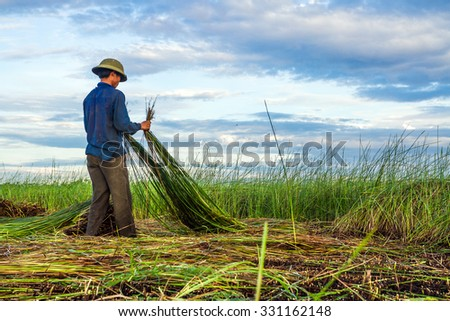 NGA SON ,THANH HOA ,VIETNAM - JUNE 30. 2013 : farmers harvesting sedge in Thanh hoa . Weaving sedge mat is a traditional craft of the people in Nga Son, Thanh Hoa, Vietnam.