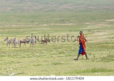 NGORONGORO CRATER, TANZANIA - FEBRUARY 16: A Masai warrior walks the plains of an extinct volcano with zebra and wildebeest in the background on February 16, 2014 in Ngorongoro Crater, Tanzania. - stock photo