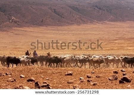 NGORONGORO - Sept. 23: Maasai people are driving cow cattle in the Ngorongoro crate bottom to drink water in September 23, 2012, Ngorongoro, Tanzania - stock photo