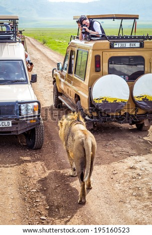NGORONGORO TANZANIA - January 2: Tourists in Cars Taking picture lion that comes so near the safari car on January 2, 2014 in Ngorongoro crater Tanzania