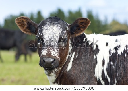 Nguni - stock photo