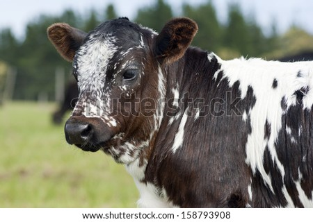 Nguni calf - stock photo