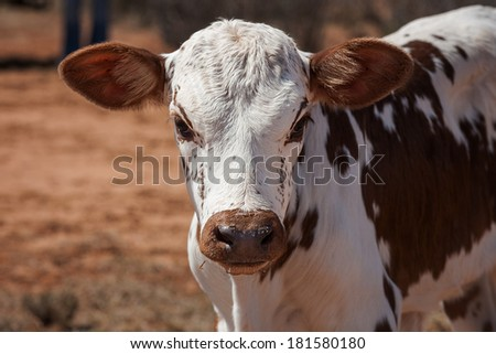 nguni calf a traditional breed of cattle for the african and southern african stock farmers - stock photo