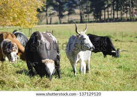 NGUNI CATTLE. HIMEVILLE, KZN. Nguni cow and bull in a pasture of Kikuyu grass. Nguni are an ancient breed of African cattle. - stock photo