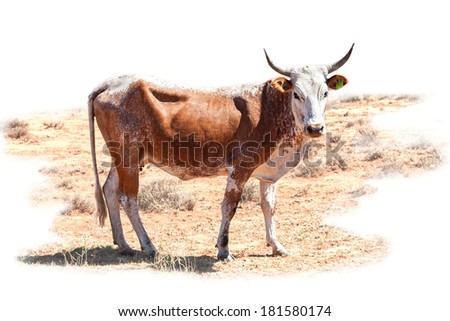 nguni cow a traditional breed of cattle for the african stock farmers - with path - stock photo