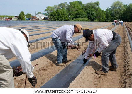 Niagara, Ontario, Canada - June 5, 2015: Migrant workers planting cuttings from Pinot Gris vines in a winery in the Niagara Peninsula.