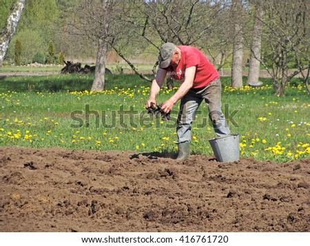 NICA, LATVIA - MAY 7, 2016: Senior man gardener is fertilizing soil by hands with pieces of dry seaweeds.                                - stock photo