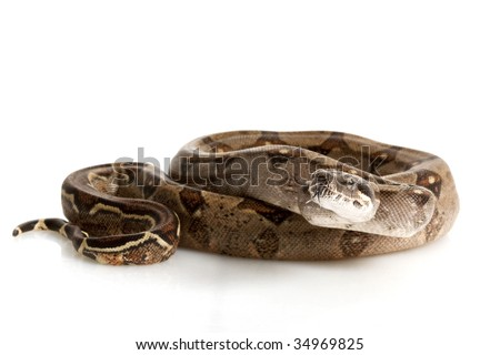Nicaraguan Boa (Boa constrictor imperators) isolated on white background. - stock photo