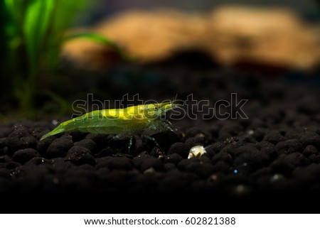 Nice aquarium freshwater shrimp