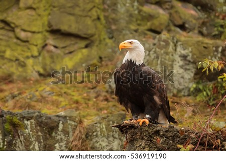 nice bald eagle with rock background