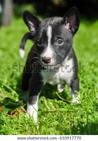 Basenji  Dog Breeds List  Search 300 dog breeds info