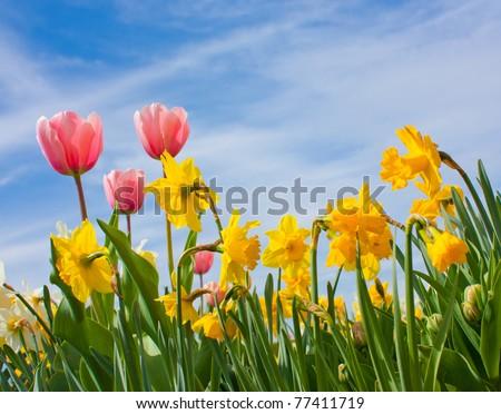 Nice blossom of orange tulips in a garden - stock photo