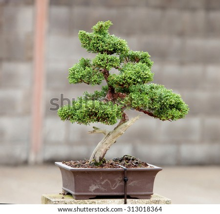 Nice bonsai in the garden of a house - stock photo