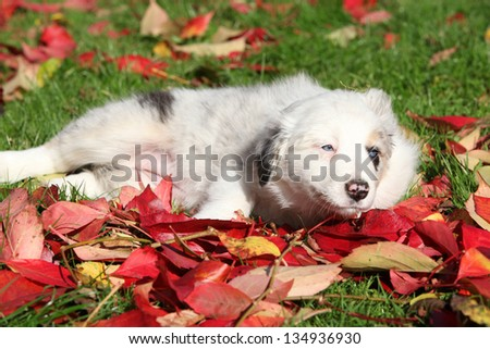 Nice border collie puppy lying in red leaves in autumn