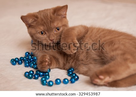 nice British cat and blue beads