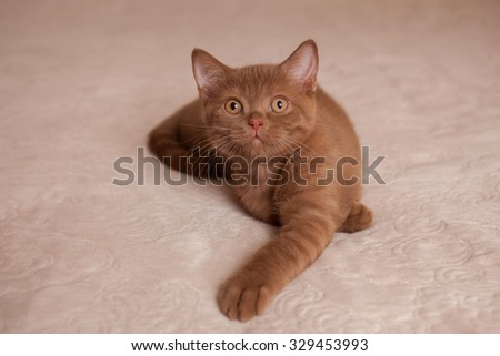 nice British cat of red color