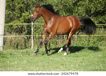 Nice brown arabian mare running on meadow