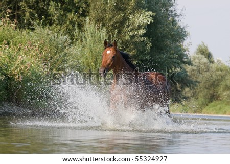 Nice brown horse running in the water